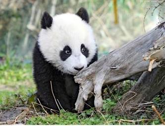 Панды переваривают всего 30% того, что едят
